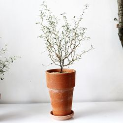 공기정화식물-마리오소포라