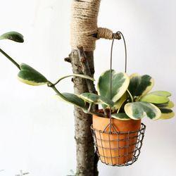 공기정화식물-호야케리