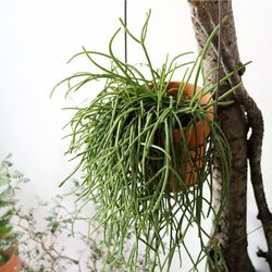 공기정화식물-립살리스