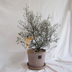 2.실버 코로키아L(식물만)