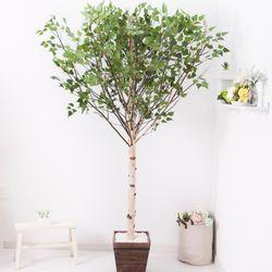기본Y자형 자작나무 230cm 우드 5-5 [조화]