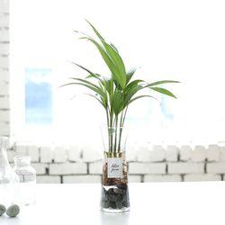 아레카야자 수경재배 화분
