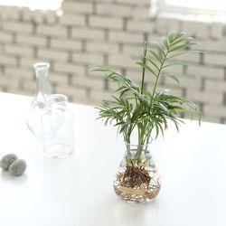 테이블야자 수경재배 화분