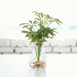 홍콩야자 수경재배 화분