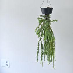 행잉플랜트 라이코포디움 (대형) 공기정화식물 거베리
