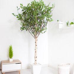기본Y자형 자작나무 230cm(사방형) 아크릴 5-5 [조화]