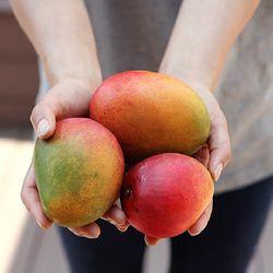 제주 애플망고 3kg (7-8과)