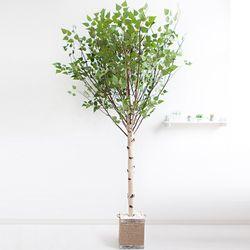 기본Y자형 자작나무 230cm(사방형) 로프 5-5 [조화]