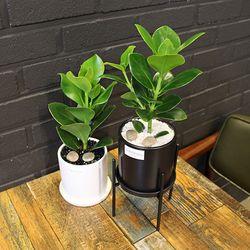 모던 무광화분 화이트 블랙 공기정화식물 크루시아