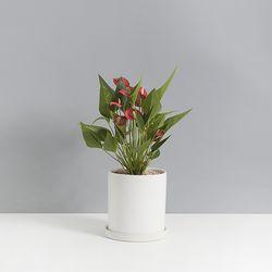 안시리움2호 선물하기 좋은식물