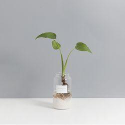 수경식물 미니알로카시아