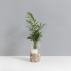 수경식물 테이블야자