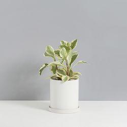 골드그린페페2호 공기정화식물 페페로미아