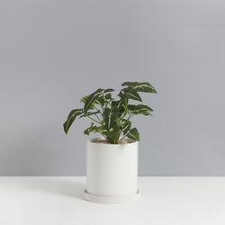 벨벳싱고니움2호 가을느낌 물씬나는식물