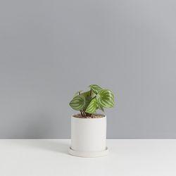수박페페로미아1호 수박을닮은 공기정화식물