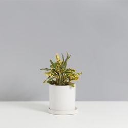 바나나크로톤 1호 화사한분위기 공기정화식물