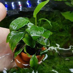 아누비아스 나나 1포트 음성수초