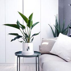 botanical home 애플콩고 중대형화분