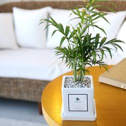 아모르 화분 테이블야자 공기정화식물