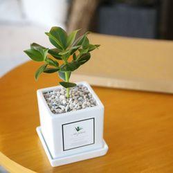 아모르 화분 크루시아 공기정화식물