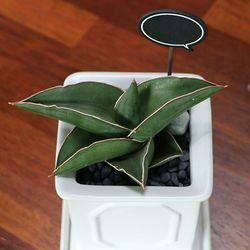 공기정화식물-사무라이드와프