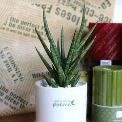 공기정화식물-트리스타키(중)