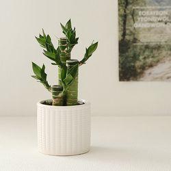 [plant] 행운을드려요 연화죽 식물화분set