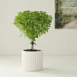 [plant] 향기로운 바질트리 허브식물화분set