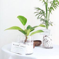 수경재배 실내공기정화식물 기획전-뱅갈고무나무