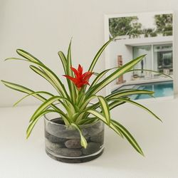 [plant] 공기정화식물 구즈마니아 수경식물set