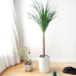 [무료배송] 실내 공기정화식물 드라세나 드라코 (기본포트)(서울퀵)