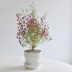 보로니아 인테리어 식물 공기정화 화분