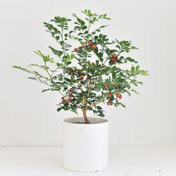 오렌지 자스민 공기정화 식물 화분