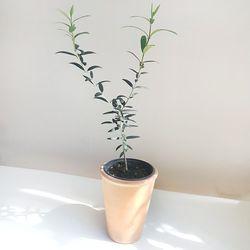 공기정화식물 올리브나무 토분세트