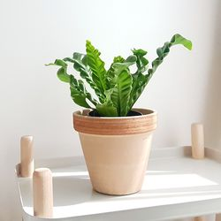공기정화식물 코브라 토분세트