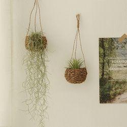 공기정화식물 - 이오난사 행잉바구니set (수염틸란)
