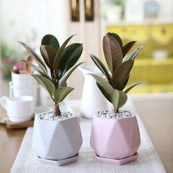 리솜 컬러화분 멜라니 고무나무 공기정화식물