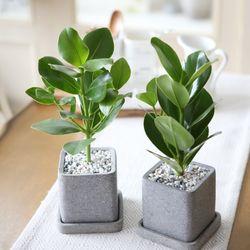 루체 화분 크루시아 공기정화식물