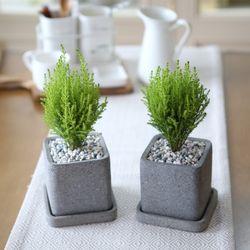 루체 화분 율마 공기정화식물