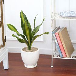 테라조 화분 맛상 게아나 중형 공기정화식물