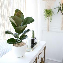 테라조 화분 인도 고무나무 중형 공기정화식물