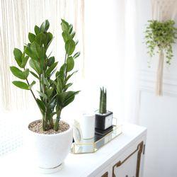 테라조 화분 금전수 중형 공기정화식물