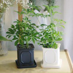 몰딩 화분 홍콩야자 공기정화식물