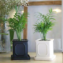몰딩 화분 테이블야자 공기정화식물