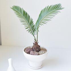 소철 공기정화 식물 화분