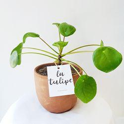 귀여운 수형 공기정화식물 필레아페페 토분세트