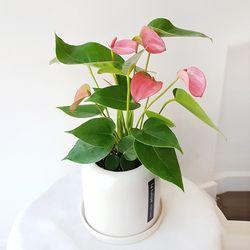 사계절 예쁜 공기정화식물 안시리움 화이트 화분세트