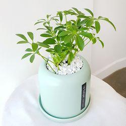 키우기 쉬운 공기정화식물 홍콩야자 민트화분세트