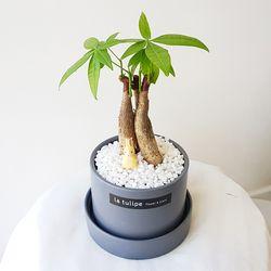 귀여운 미니나무 파키라 그레이화분세트