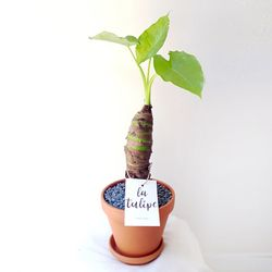 수형이 예쁜 공기정화식물 알로카시아 토분세트 중형
